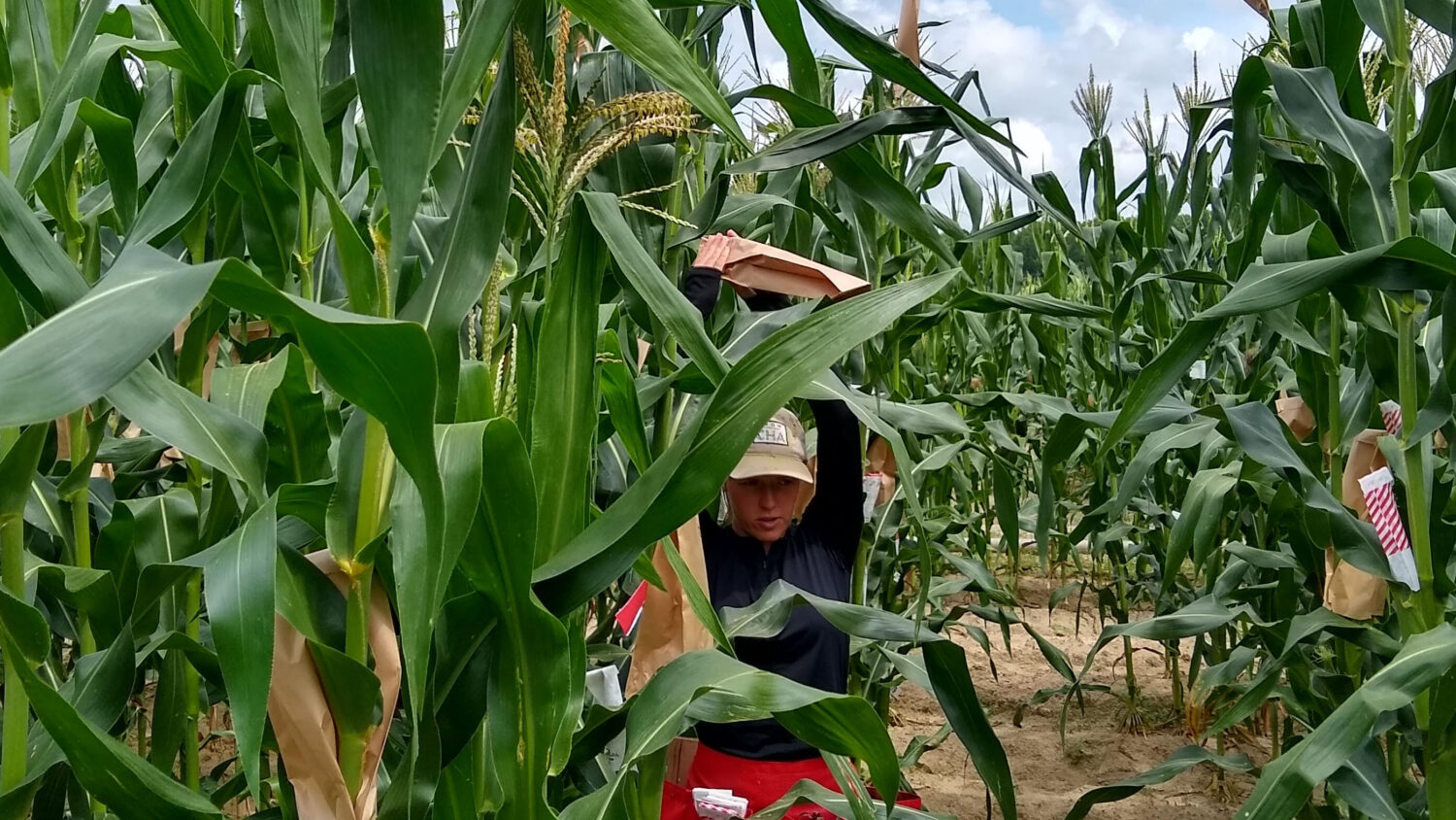 Student in maize field